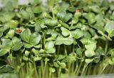 Científicos desarrollan nuevos y mejorados brotes de brócoli ideales para personas mayores y niños