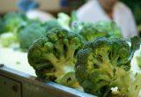 Un brócoli adaptado al cambio climático