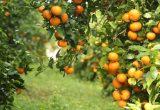 La regularización de la variedad de mandarina Orri en España incrementa su control