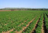 El noroeste europeo suma un 4,6% más de superficie de patata