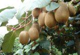 Descenso de la producción italiana de kiwi