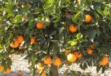 UPA Andalucía critica que la Comisión ningunee la voz del sector citrícola