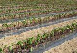 Sabor y poscosecha en las 12 nuevas variedades de fruta de Provedo