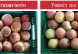 DECCOPYR POT, el nuevo fungicida fumígeno para fruta de hueso y pepita en postcosecha