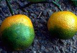 greeneing en cítricos hlb