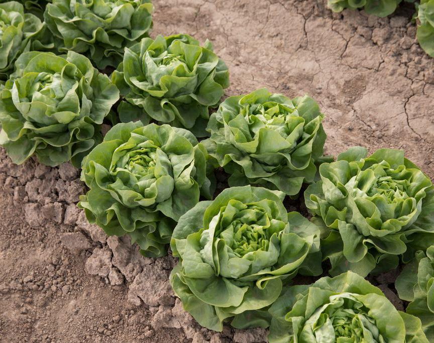 Lettuce-COTFC rijk zwaan