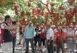 ITUM presenta dos nuevas variedades de uva sin semilla tolerantes al oídio