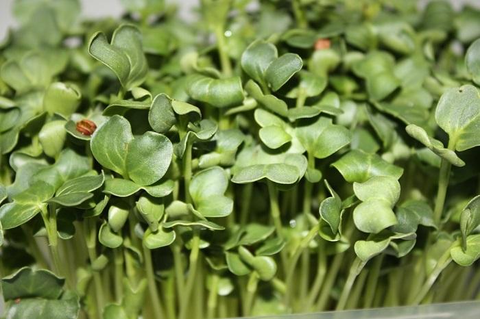 brotes de brócoli