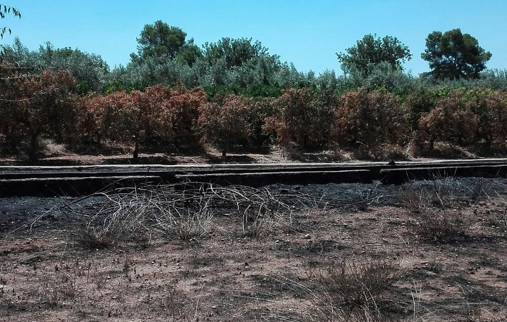 Campos afectados con cultivos recientemente por incendio de fincas abandonadas colindantes en la comarca del Camp de Túria