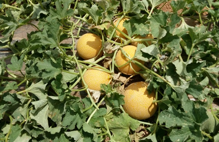 melon galia hm clause