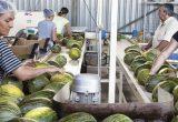 Precios por debajo de coste en el arranque de la campaña de melón de La Mancha