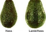 aguacate hass vs lamb hass