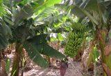 platano plantacion
