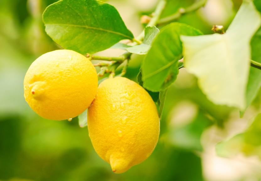 Limones en campo