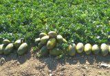 AgriAlgae® mejora el rendimiento y la calidad de los frutos