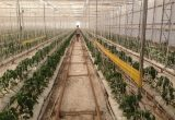 greenvass Trampas adhesivas Rolltrap para control biológico de plagas
