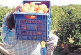 La recolección de naranjas en verde pone en peligro al sector