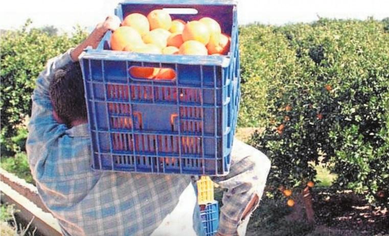 Tiempo de recogida de naranjas