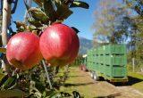 Manzanas Val Venosta distribuirá cargas más pequeñas y escalonadas esta campaña