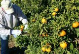campo naranjas agricultor