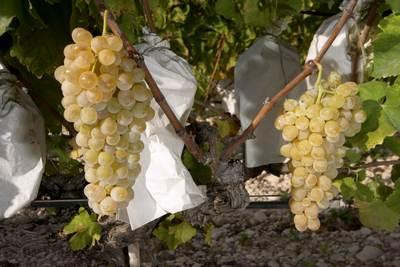 racimos-uva-vinalopo