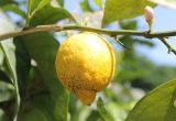 limonero mal seco citricos