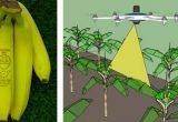 Banana ecológica laser-etiquetada y drones de fumigación en las plantaciones de banana de Compaignie Fruitiere
