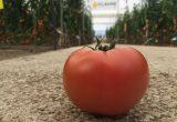 CLX37896 tomate rosa hm clause