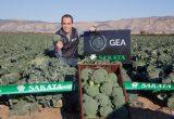 Gea, Sakata Seed Ibérica's new option in broccoli