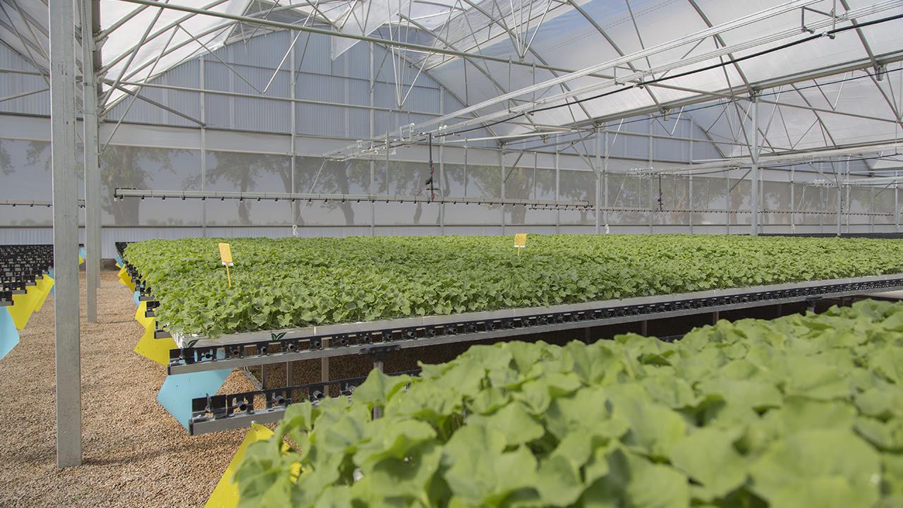 semillero plantel injertos sandía