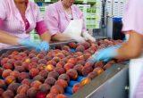 HaciendasBio producirá un 30% más de hueso y 1.000 Tm de uva