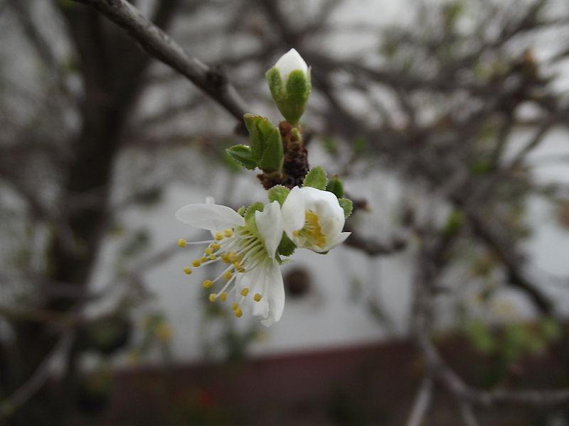 flor retoños ciruelo arbol
