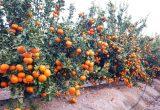 plantacion de sping sunshine mandarina TEO