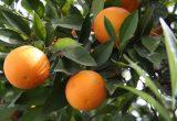 naranjas árbol