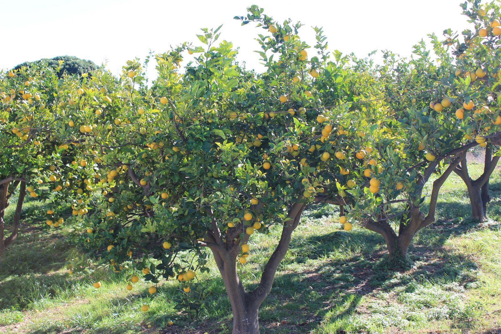 Cítricos campo árbol naranja