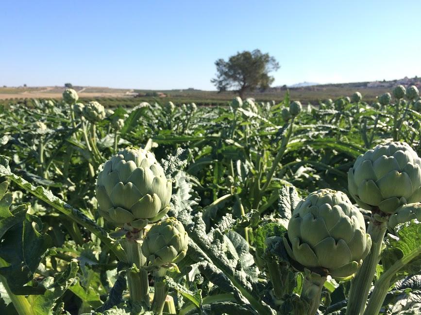 campo ALCACHOFA cultivo agriocultura