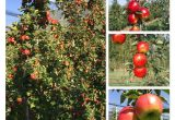 New CIV apple selection: Project aimed at the main European apple stakeholders