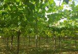 uvasdoce campo uva