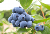 New blueberry varieties gain incredible reception
