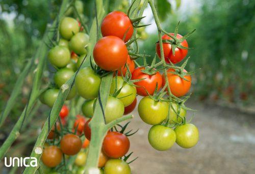 unica-tomate