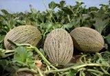 Ceferino melón piel sapo fitó en campo