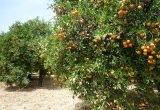 campo naranjas cultivo foto asaja cordoba