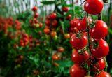 Cultivos invernados tomate