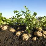 patatas en campo