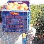 naranjas asaja sevilla