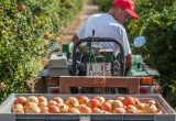 granadas elche campo tractor agricultor