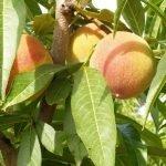 """Las prácticas comerciales provocan precios de """"miseria"""" para la fruta"""