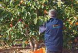 exquisite fruits campo naranjas