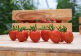 unicafresh -sugarino rz cherry pera rijk zwaan