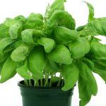 albahaca plantas aromaticas